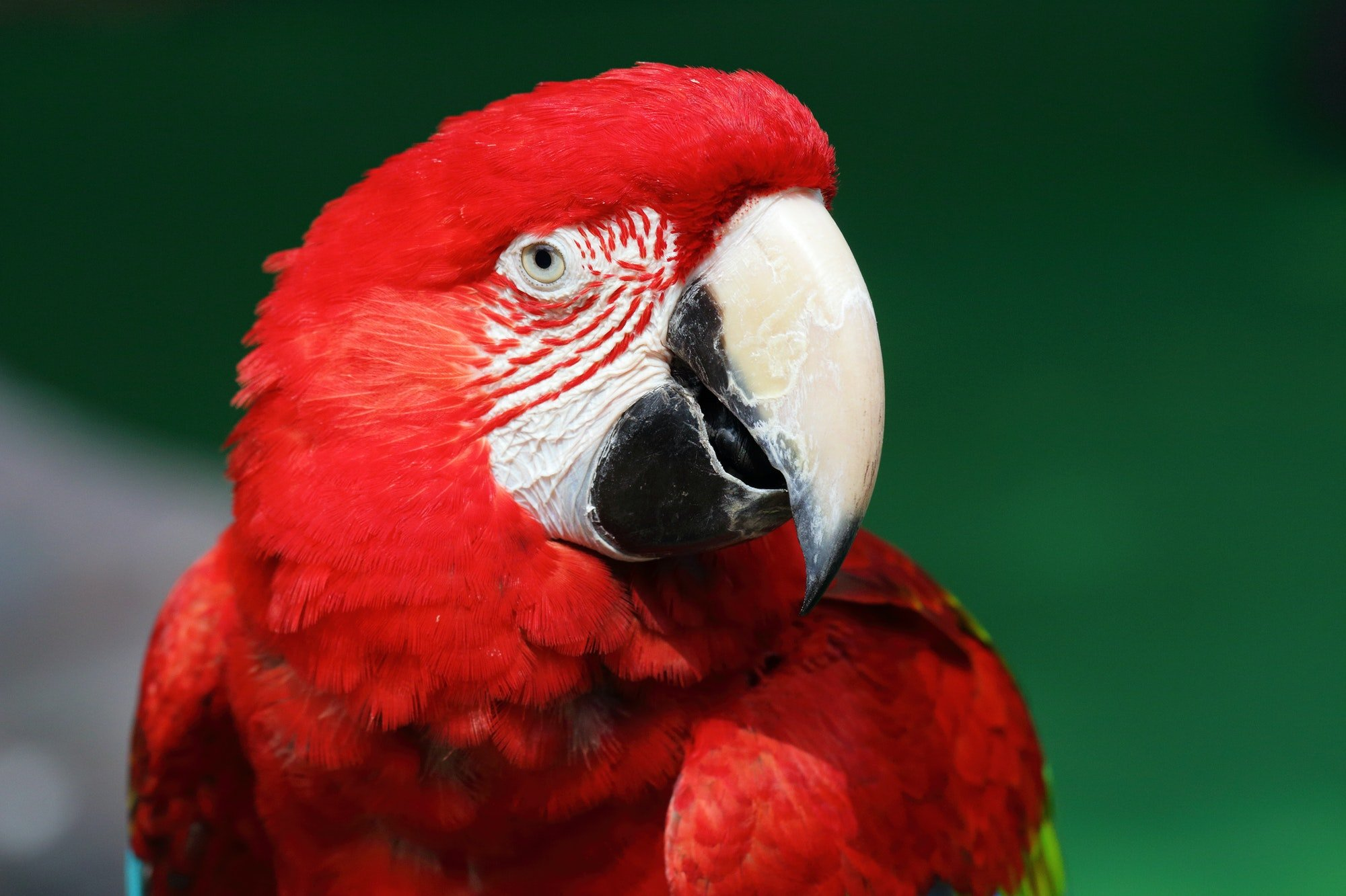 colorful red macaw