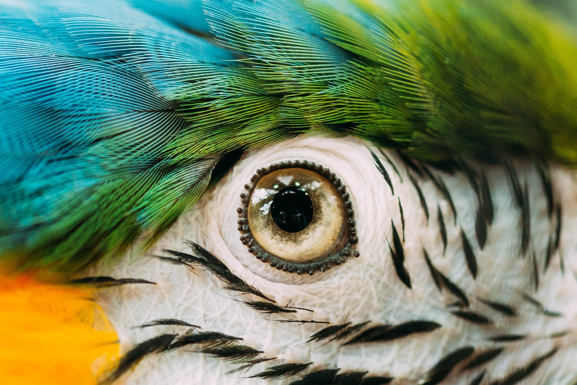 Eye Of Blue-and-yellow Macaw Also Known As The Blue-and-gold Mac