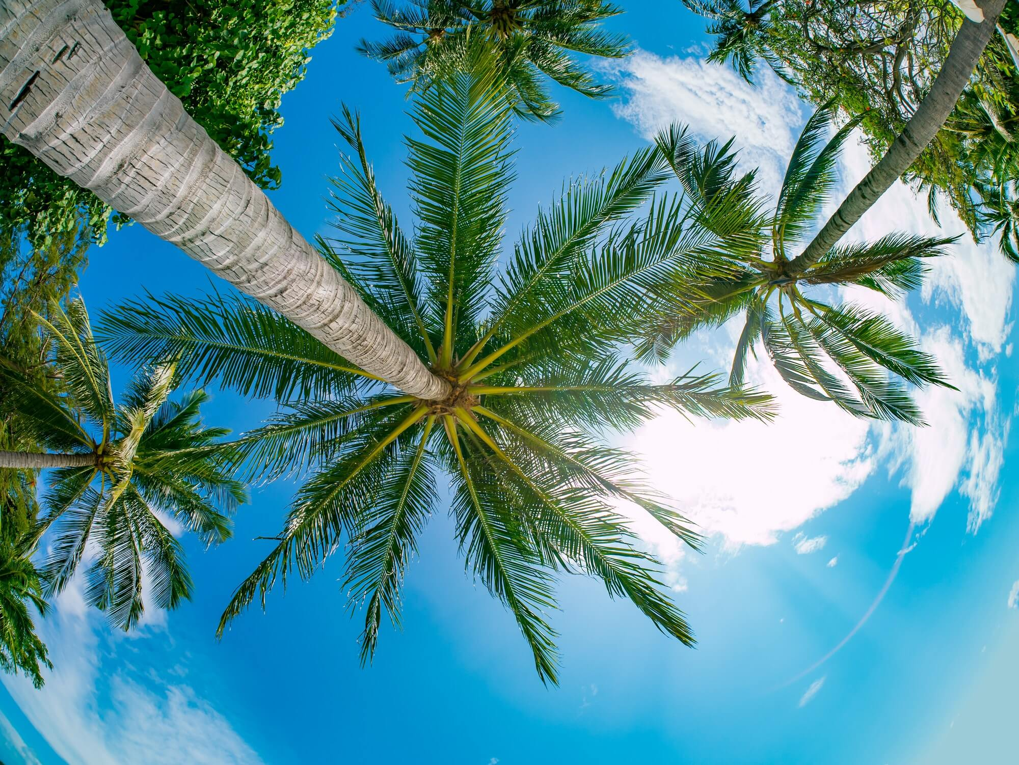 Coconut palm trees perspective