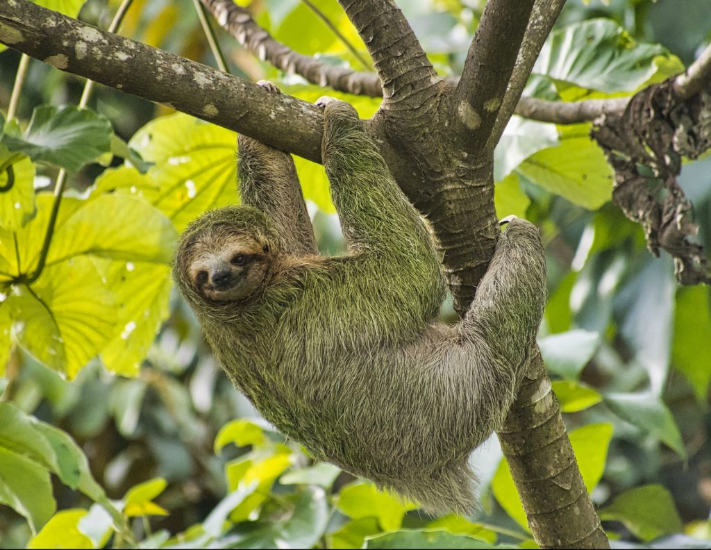 Pale-throated Sloth, Bradypus tridactylus, Marino Ballena National Park, Costa Rica, America