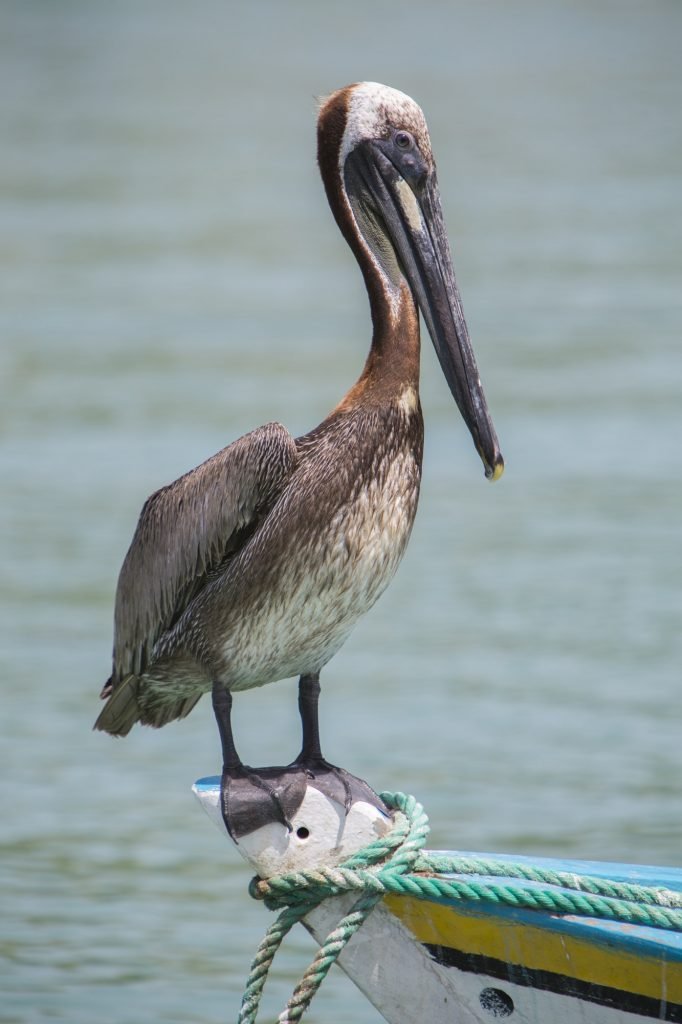 Pelican standing on a fisher boat, Margarita Island