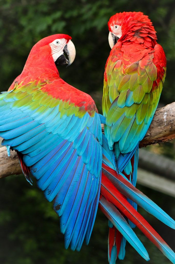 Scarlet macaw wingspan @ Queens Zoo