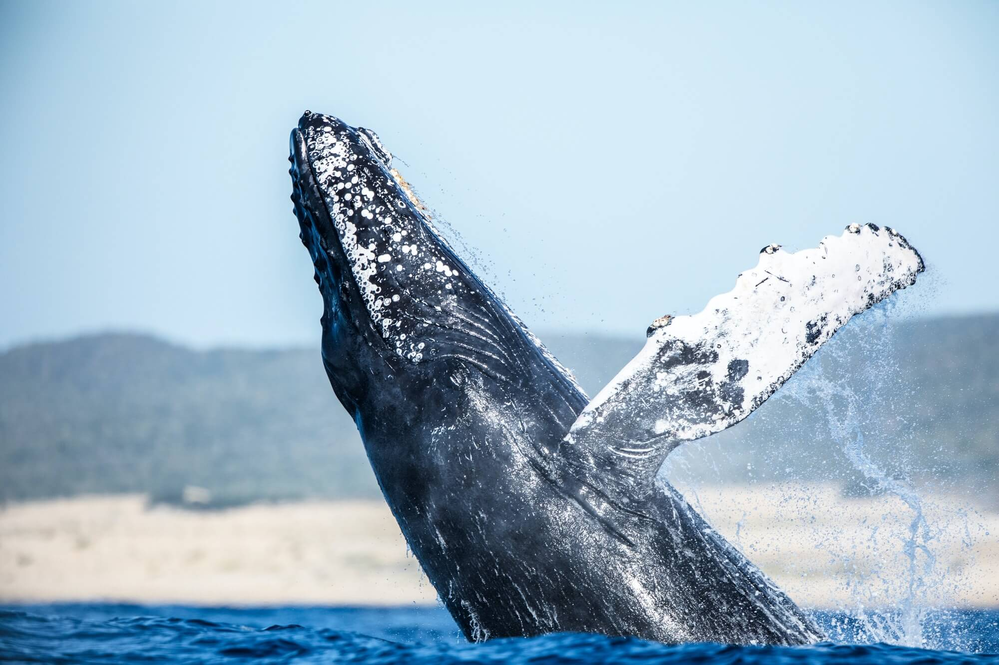 A humpback whale shows the grace of one of the largest animals in the world