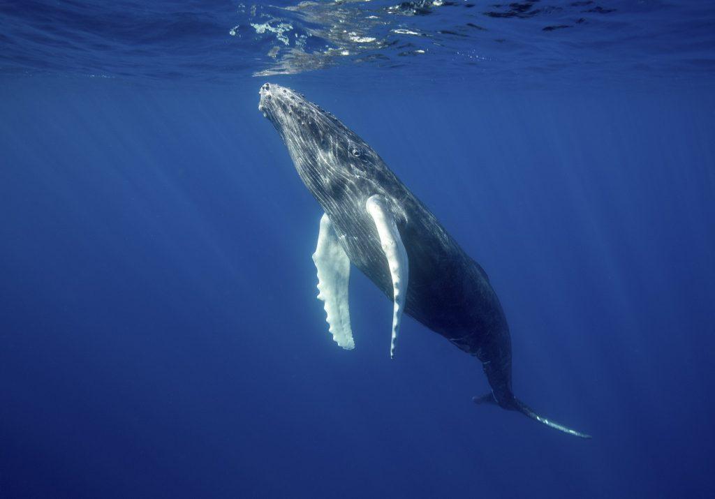Rare underwater encounter with Humpback whale, Megaptera novaeangliae,Migratory pelagic marine life.